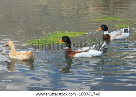 Ducks in a pond on a spring day in utah. - stock photo