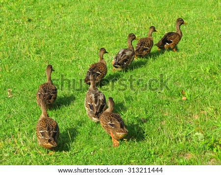 Ducks in a row following leader. - stock photo