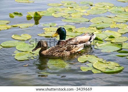 Ducks on a lake - stock photo