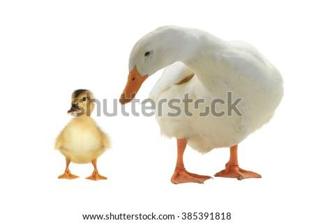 ducks on a white background - stock photo