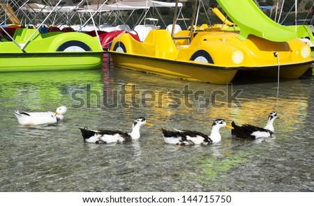 Ducks on the lake Kurnas, the island of Crete, Greece, June 2013 - stock photo