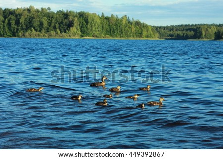 Ducks on the windy lake
