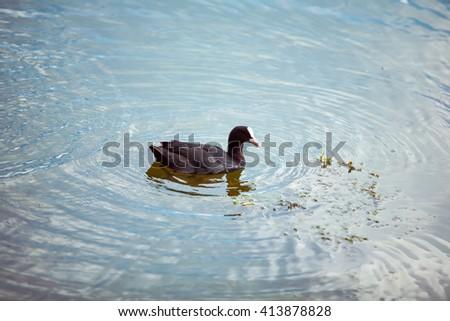 ducks swim in the pond - stock photo