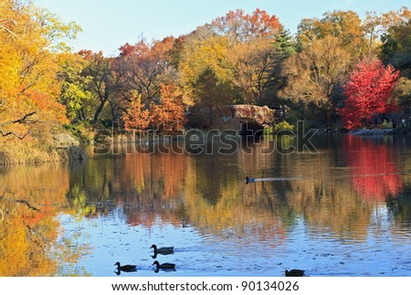 Ducks swimming across the Central Park Pond in Autumn in New York City
