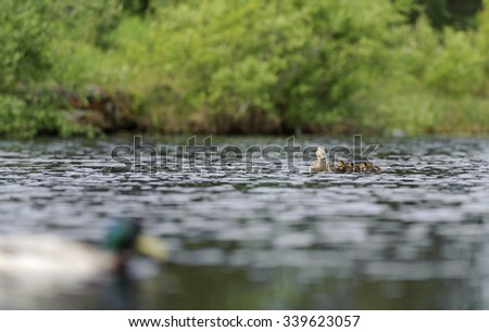 Ducks swimming in the pond