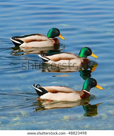 Ducks swimming in the river - stock photo