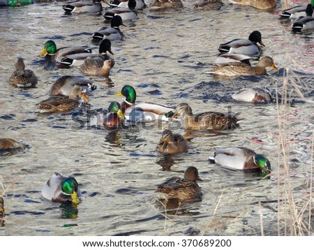 Ducks. They live in lakes and rivers. These birds are waterfowl. Mallard - is the most common wild duck. Very often, mallards wintering in the cities, in the unfrozen ponds. Ducks wintering. - stock photo