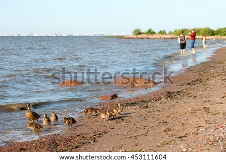 Ducks trying to go in the water of The Gulf of Finland. Saint-Petersburg. Russia