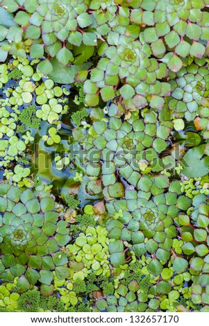 Duckweed - stock photo