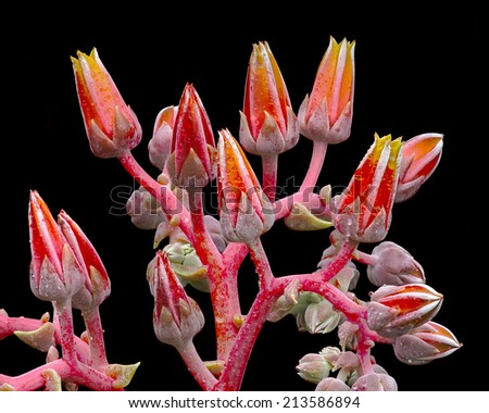 Dudleya (dudleya cymosa) blossom, Southern California, USA. - stock photo