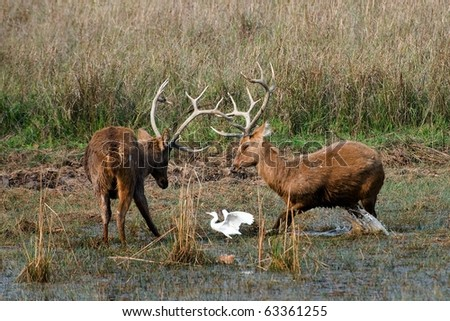 Duel of swamp deer. The marriage period. The referee. - stock photo
