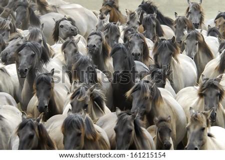 Duelmen Ponies, wild herd of horses, Germany - stock photo