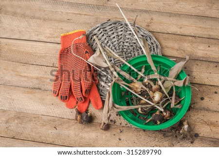 Dug tulip bulbs after the end of the growing season in the basket for planting bulbs on a wooden table - stock photo