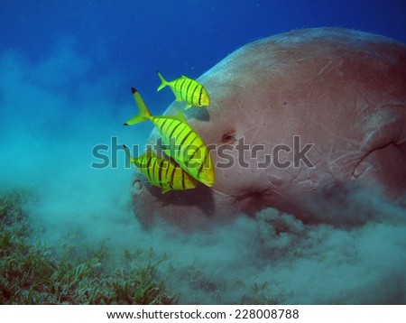 Dugong and juvenile pilot jacks feeding on seagrass - stock photo