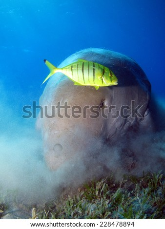 Dugong and pilot jack portrait, Abu Dabbab - stock photo