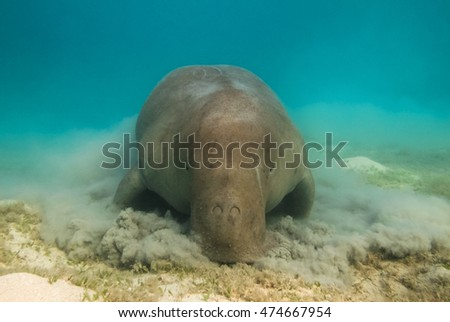 Dugong dugon. The sea cow. Red Sea. Egypt