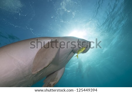 Dugong (dugong dugon) or seacow in the Red Sea - stock photo