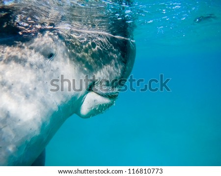 Dugong (Dugong dugon) - The sea cow. Red Sea