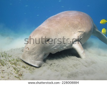 Dugong feeding on a field of seagrass, Abu Dabbab - stock photo
