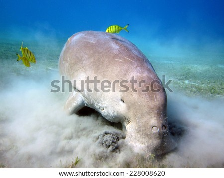 Dugong feeding on seagrass with juvenile pilot jacks - stock photo