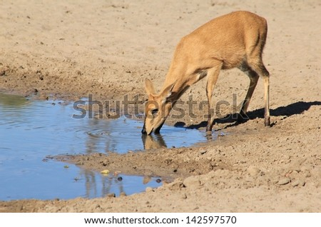 Duiker, Common Southern - Wildlife from Africa - Animal Background.  This beauty was photographed on a game ranch in Namibia.