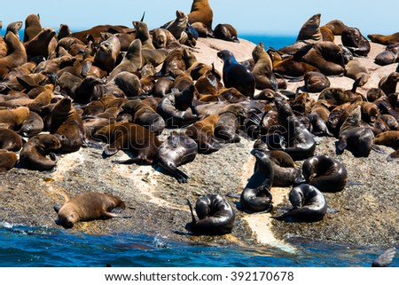 duiker Island with Cape fur seals colony in hout bay cape town south africa