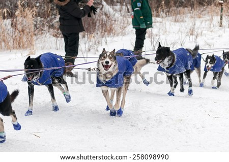 DULUTH MN - JANUARY 27: Jenny Greger's dogs cross the road at Sawbill Checkpoint during the Marathon portion of the John Beargrease Sled Dog Race. Greger finished 5th on January 27, 2015 in Duluth, MN - stock photo