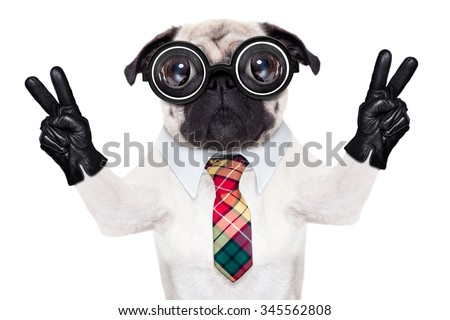 dumb crazy pug dog with nerd glasses as an office business worker with pencil in mouth ,making peace and victory signs with finger ,  isolated on white background - stock photo