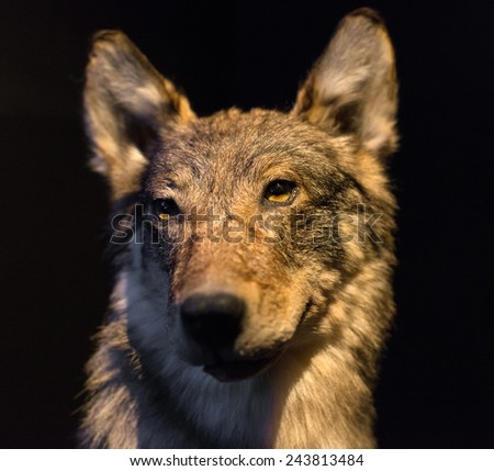 Dummy face of gray wolf on black background. - stock photo