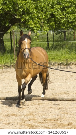 Dun coloured half Arabian, half Berber horse with golden highlights and white markings exercising on a lunge on a sand paddock.