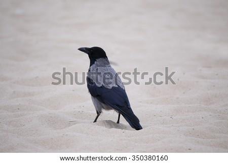 Dun crow - stock photo