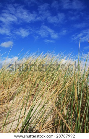 Dune grass in the wind under blue sky