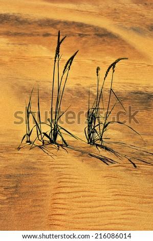 Dune Grasses on the beach  - stock photo