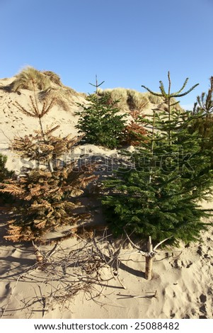 Dune Restoration with Christmas Trees - stock photo