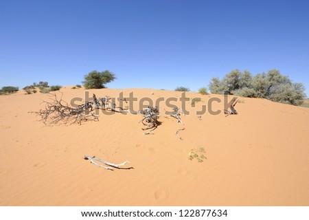 Dune view, Kalahari desert, northern cape, South africa. bleached wood on sand dune - stock photo