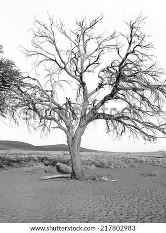 Dunes and lonely tree in Sossusvlei plato of Namib Naukluft National Park - Namibia, South Africa (black and white)