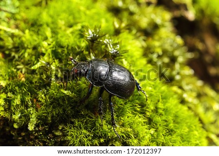 dung beetle, Anoplotrupes stercorosus