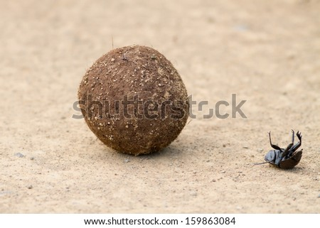 Dung beetle falling off dung ball while rolling struggling on back upside down