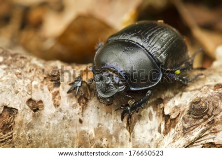 Dung beetle (Geotrupes stercorarius) climbing over a fallen branch on leaf litter