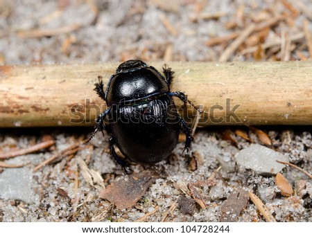 dung beetle meets obstacle