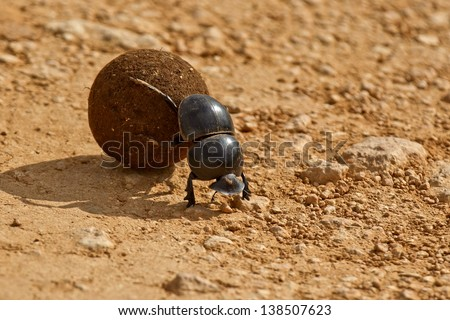 dung beetle pushing a ball of dung backwards in the morning sunlight