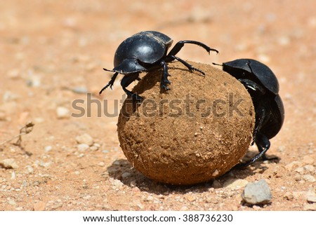 Dung beetle rolling a dung ball - stock photo