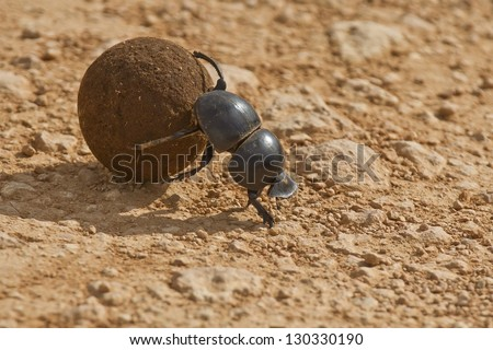 Dung beetle rolling some dung in the early morning sun - stock photo