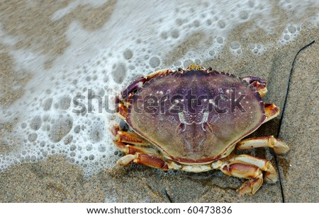 Dungeness Crab washed on shore