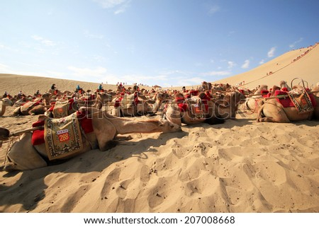 DUNHUANG, CHINA - JULY 27: Chinese camel driver takes care of resting Camels at the famous Mingsha sand dunes on July 27, 2012 in Dunhuang located on the historic Silk road in the Gobi desert. - stock photo