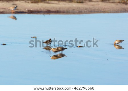 Dunlins looking for food in the water
