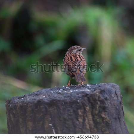 Dunnock, also known as Hedge Sparrow or Hedge Warbler perched on a dead tree stump - stock photo