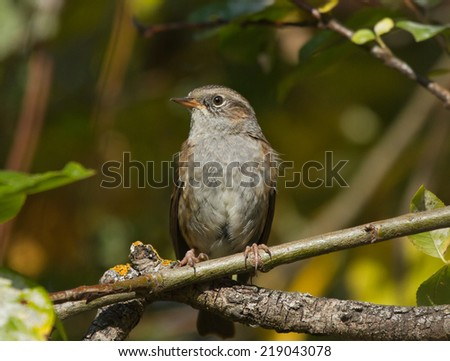 Dunnock on the branch