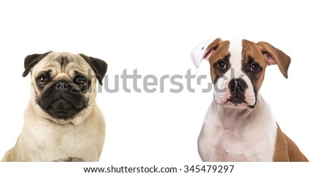 Duo portrait of a pug dog and an american bull dog facing the camera isolated on a white background