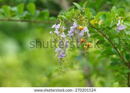 Duranta erecta L., Golden Dewdrop, Pigeon Berry, Sky flower. - stock photo